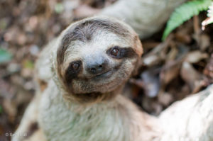 Adopt Gilbert, a wild sloth.