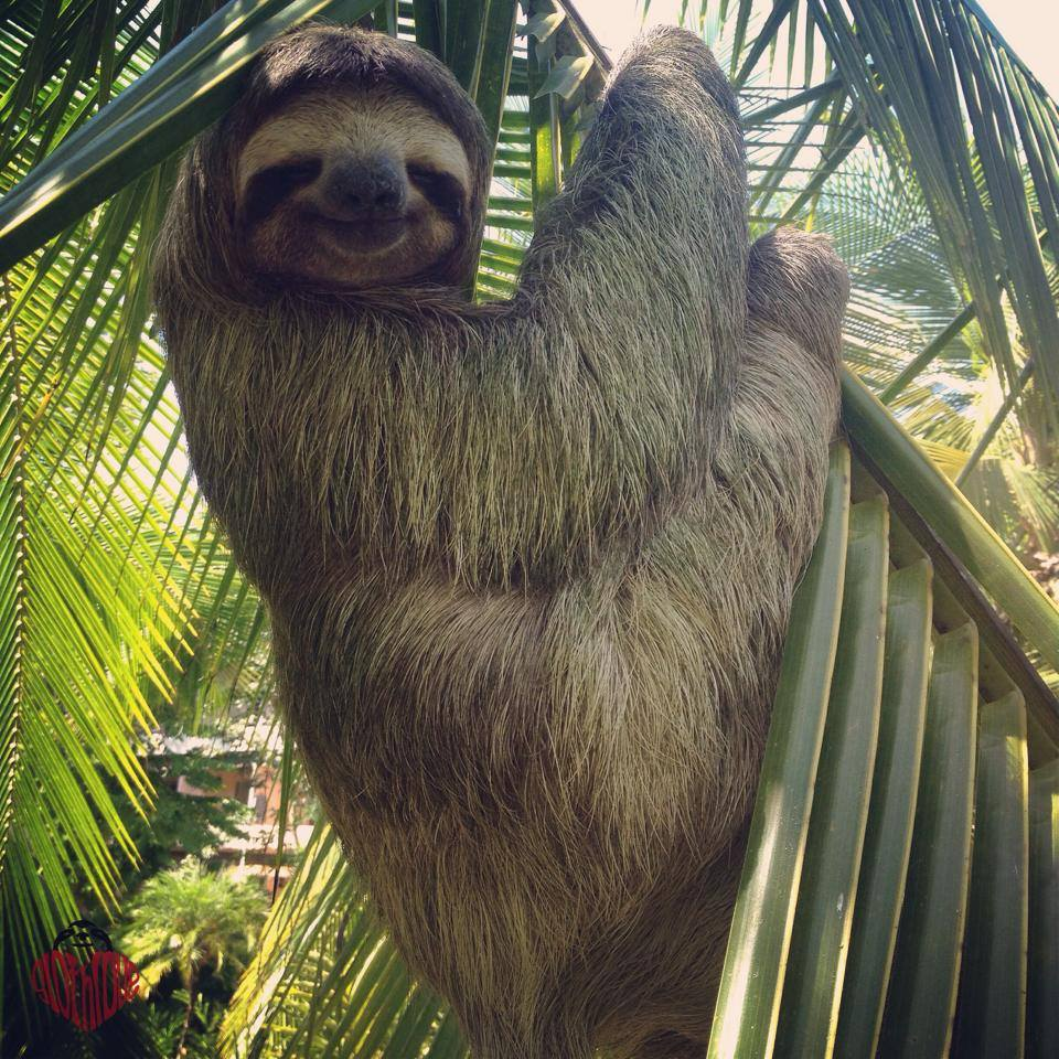 The Sloth Institute Why you shouldn't handle wild sloths